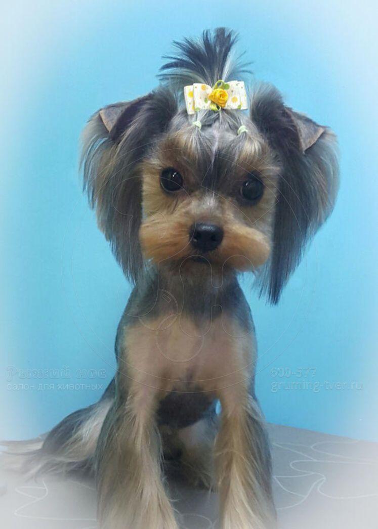Многим владельцам маленьких модниц хочется знать, какие стрижки йорков девочек рекомендуют профессионалы из салонов красоты для собак.